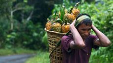 Seorang pria suku Khasi membawa nanas di keranjang bambu dan berjalan di tengah hujan di jalan raya sepanjang perbatasan negara Assam-Meghalaya di India (11/9). (AP Photo/Anupam Nath)
