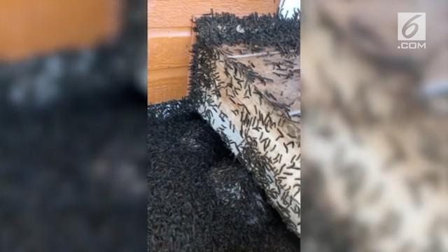 Pria asal Kanada terkejut melihat di sekitar rumahnya dipenuhi ribuan ulat bulu. Fenomena ini rupanya terjadi di setiap musim semi.