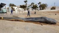 Telan Sampah 30 Kg, Ini Penyebab Kematian Paus Sperma di Spanyol (Twitter: Espacios Naturales Murcia)
