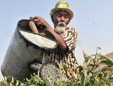 Kisah Kakek Sulap Tanah Garapan Jadi Ladang Cabai Rawit