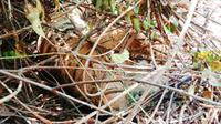 Harimau sumatra mati yang ditemukan sudah membusuk karena jerat. (Liputan6.com/Istimewa)