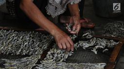 Pekerja menyusun cicak di rumah industri kawasan Cirebon, Jawa Barat, Selasa (2/4). Cicak kering ini diekspor ke beberapa negara Asia seperti Jepang dan China. (Liputan6.com/Herman Zakharia)