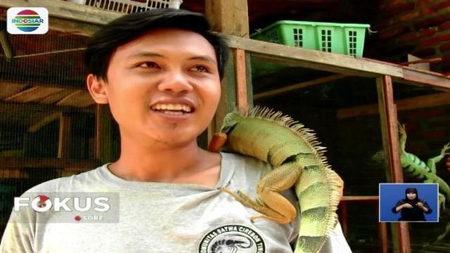 Berawal dari hobi dan kecintaannya terhadap iguana, seorang pria di Cirebon, Jawa Barat, berhasil menjadi peternak reptil asal Amerika tersebut. Satu ekor iguana yang diternakannya dijual mulai Rp 500 ribu hingga puluhan juta rupiah.