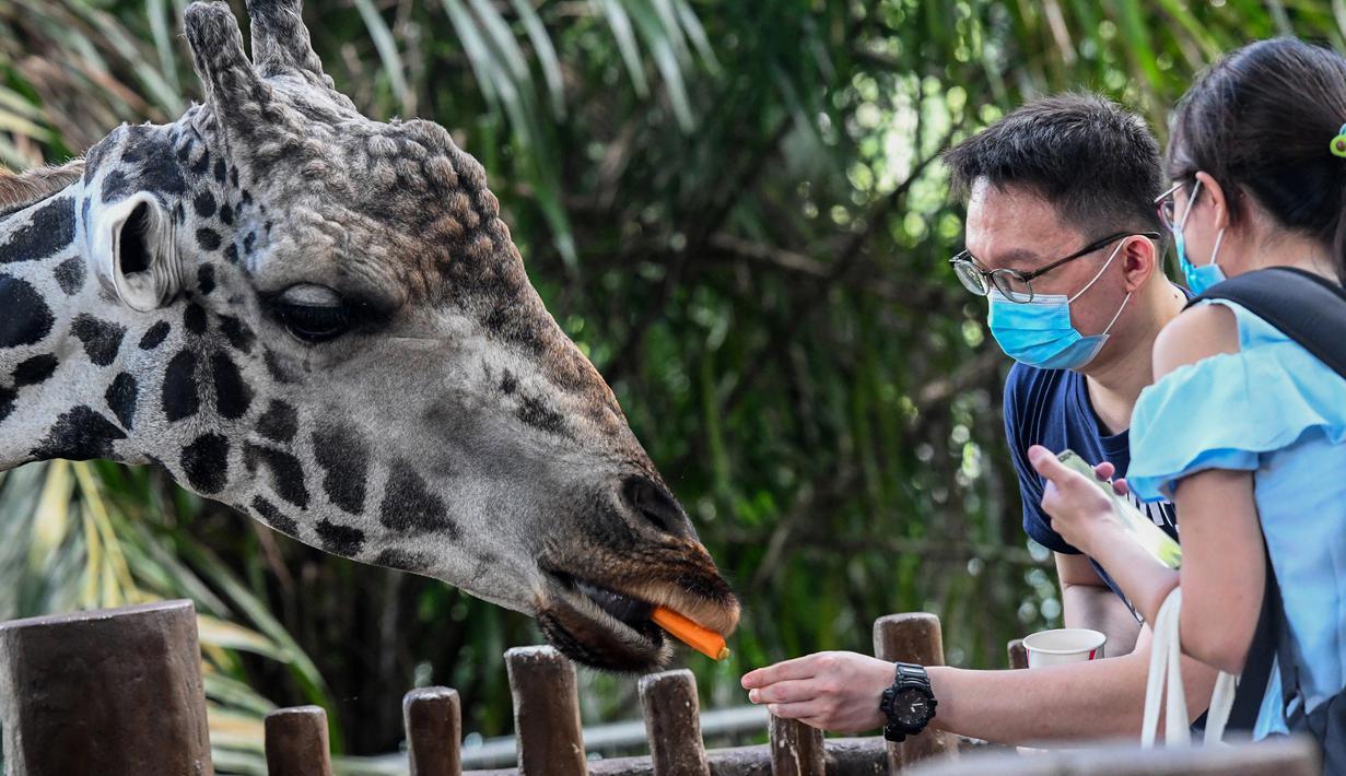 Pengunjung memberi makan jerapah di kandangnya pada hari pertama pembukaan Kebun Binatang Singapura untuk umum di Singapura, Senin (6/7/2020). Kebun binatang yang hampir tiga bulan ditutup akibat pandemi virus corona ini dibuka kembali dengan penerapan protokol kesehatan. (Roslan RAHMAN/AFP)