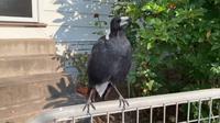 Burung Magpie dapat meniru banyak suara burung yang berbeda, dan bahkan panggilan dari hewan lain. (Source: Facebook/Gregory Andrews)
