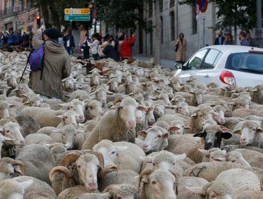 Domba Menyerbu Madrid