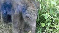 Anak gajah jantah yang baru saja dilahirkan oieh ibunya yang bernama Lisa di Taman Nasional Tesso Nilo, Pelalawan, Riau (dok.instagram/@kementerianlhk/https://www.instagram.com/p/CIreR0QsfoB/Komarudin)