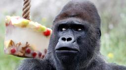 Richard, gorila dataran rendah barat, memakan es krim berisi buah-buahan beku di kandang mereka di Kebun Binatang Praha, Republik Ceko, Kamis (6/6/2019). Pengelola kebun bintangan memberikan es krim untuk sejumlah satwa  lantaran wilayah tersebut tengah dilanda cuaca panas. (Michal Cizek / AFP)