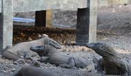 Guide taman nasional memantau komodo di Pulau Rinca, Taman Nasional Komodo, NTT, Minggu (14/10). Pulau Rinca  yang merupakan zona inti Taman Nasional Komodo. (Merdeka.com/Arie Basuki)