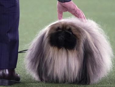 FOTO: Anjing-Anjing Menggemaskan Tampil di Westminster Kennel Club Dog Show