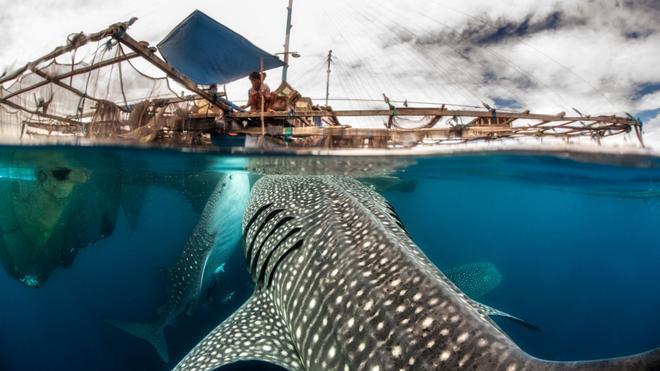 Ternyata Indonesia Jadi Rumah Bagi Ikan Terbesar Di Bumi Food