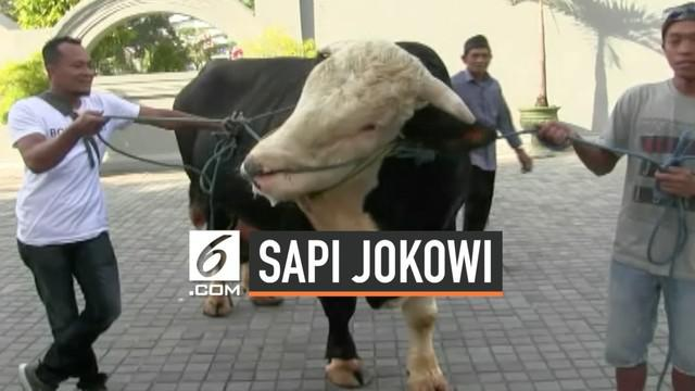 Presiden Joko Widodo memberikan 2 sapi kurban untuk warga Yogyakarta dan Gunung Kidul DIY. Sapi-sapi tersebut dibeli dari hasil penggemukan peternak di lereng Merapi, dengan harga lebih dari Rp 100 juta.