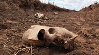 Sisa-sisa kerangka di mana puluhan kuda ditemukan mati dekat kubangan air kering di Cameron, Arizona, AS, 3 Mei 2018. Kematian lebih dari 100 ekor kuda liar itu adalah contoh paling mencolok dari kemarau panjang di wilayah tersebut. (AP/Felicia Fonseca)