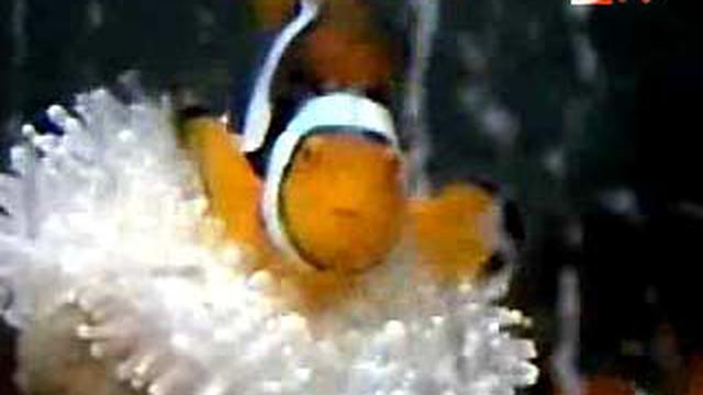 Budidaya Ikan Nemo News Liputan6com