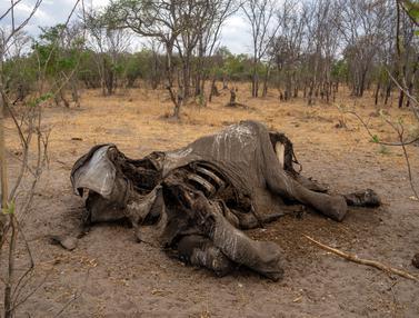 Ratusan Gajah Mati di Taman Nasional Hwange Zimbabwe