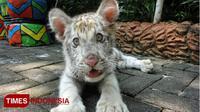 Flash, Harimau putih yang lahir di Maharani Zoo dan Goa, Senin, (16/4/2018). (FOTO: Ardiyanto/TIMES Indonesia)