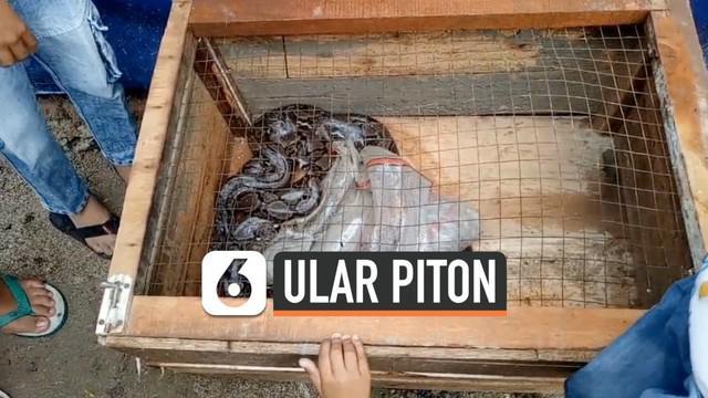 Hujan deras selama beberapa jam memicu seekor ular piton keluar dari sarangnya. Hewan itu sempat masuk ke warung di perumahan warga Serang Banten.
