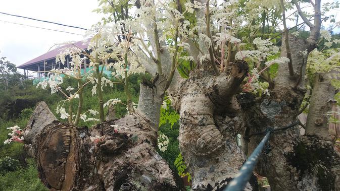 Kelor berwarna putih yang tumbuh di Kabupaten Muna (Liputan6.com/Ahmad Akbar Fua)