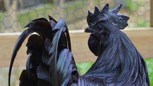 80 Gambar Ayam Cemani Hitam Terbaik