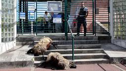 Domba-domba yang mati oleh serangan beruang diletakkan di sub-prefektur Bayonne, Prancis, Senin (2/9/2019). Petani memprotes meningkatnya serangan beruang terhadap kawanan domba di pegunungan Pyrenees. (AP Photo Bob Edme)