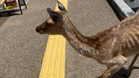 Rusa-rusa di Nara, Jepang, kurus karena minimnya kunjungan turis selama pandemi COVID-19. (dok. ameblo.jp/50mama50)
