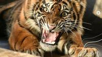 Seekor harimau sumatra dilepasliarkan di Taman  Nasional Kerinci Seblat, Sumatra Barat, Minggu, 28 Februari 2021 (dok.instagram/@kementerianlhk/https://www.instagram.com/p/CL13z6rMilX/Komarudin)