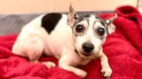 Potret Dutchess, anjing yang hilang selama 12 tahun. (Sumber: Humane Animal Rescue)