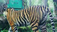 Harimau Sumatra yang pernah terekam kamera pengintai masuk kebun masyrakat. (Liputan6.com/Dok BBKSDA Riau/M Syukur)