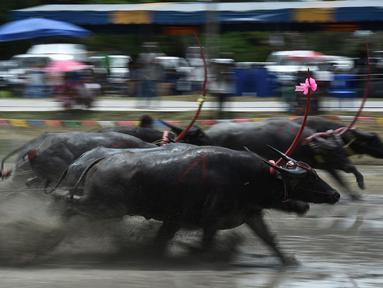 Sejumlah petani berusaha mengendalikan kerbaunya saat bersaing pada festival lomba balap kerbau di Chonburi, Minggu (16/7). Festival tahunan di Thailand ini merupakan tradisi untuk menyambut datangnya musim panen padi. (LILLIAN SUWANRUMPHA / AFP)