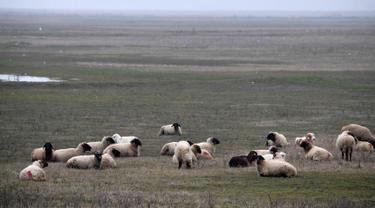 Kawanan domba milik warga lokal mencari makan di sekitar area pangkalan militer AS di dekat Deveselu, Rumania, Senin (15/1). Area itu digunakan untuk membangun sistem penangkal rudal jarak dekat dan jauh, terutama dari Timur Tengah (DANIEL MIHAILESCU/AFP)