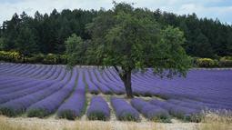 Ladang bunga lavender terlihat di kota Sault, Prancis selatan pada 8 Juli 2019. Layaknya hamparan luas karpet berwarna ungu, bunga lavender dipangkas rapi dan ditata sedemikian rupa. (Photo by Christophe SIMON / AFP)