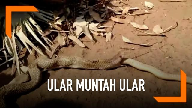 Seekor ular kobra tertangkap tengah memuntahkan ular sepanjang 3 kaki di desa Naranagada, India. Sontak, peristiwa ini membuat geger warga.