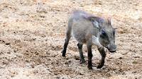 Ilustrasi babi hutan (iStock)