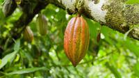 Kakao atau yang sering disebut buah coklat ini merupakan buah yang memiliki rasa yang enak.