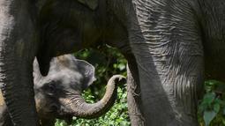 Bayi gajah Sumatra berusia dua tahun terlihat bersama ibunya di Trumon, kabupaten Aceh Selatan (10/1). Gajah sumatera adalah mamalia terbesar di Indonesia, beratnya mencapai 6 ton dan tumbuh setinggi 3,5 meter pada bahu. (AFP Photo/Chaideer Mahyuddin)