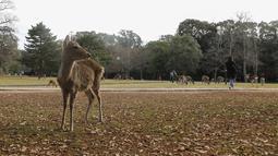 Foto yang diabadikan pada 9 Desember 2020 ini menunjukkan rusa di Nara, Jepang. Rusa Nara, yang hidup berdekatan dengan manusia, menjadi salah satu simbol Kota Nara. Rusa Nara dilindungi sebagai monumen alam Jepang. (Xinhua/Du Xiaoyi)