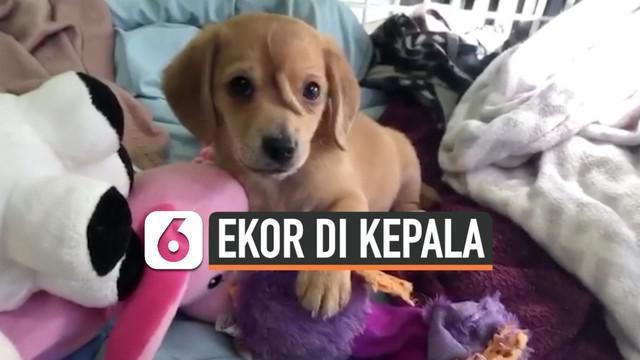 Seekor anak anjing berusia 10 minggu memiliki bagian tubuh tambahan di kepala.  Bagian tubuh tersebut menyerupai ekor namuntidak bisa digerakkan.