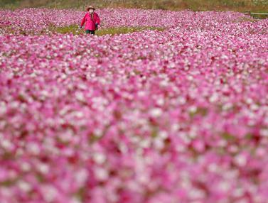 Berwisata di Ladang Bunga Cosmos di Korsel