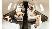 Rindu Anjingnya, Wanita Ini Sewa Jet Pribadi Ratusan Juta Khusus Hewan (Sumber: Asia One)