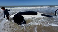 Seorang anak berdiri dekat paus pembunuh yang mati setelah ditemukan terdampar di pantai Mar Chiquita, Argentina, Senin (16/9/2019). Sementara enam paus lainnya berhasil dievakuasi ke laut dalam oleh regu penyelamatan dan sukarelawan. (AP/Marina Devo)