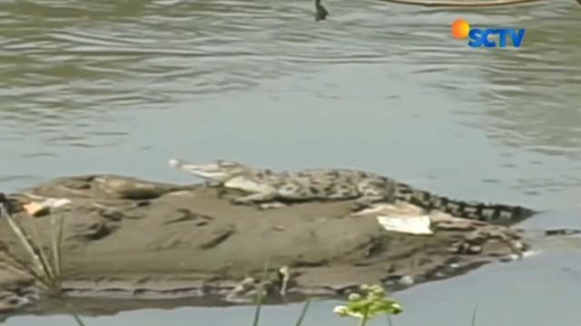 Seekor buaya kembali muncul di Sungai Citarum, Kabupaten Bandung. Petugas BKSDA dan kebun binatang berusaha menangkap buaya itu, namun belum berhasil.