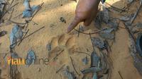Jejak harimau yang ditemukan warga di jalan menuju kebun karet, Senin, 9 Juli 2018.