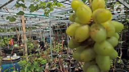 Petani yang tergabung dalam Komunitas Anggur Kebun Imut Sinakal memeriksa buah anggur di Kebun Imut Sinakal, Malakasari, Duren Sawit, Jakarta, Kamis (25/2/2021. Petani memakai sistem grafting dengan pemanfaatan madu sebagai Zat Perangsang Tanaman pertumbuhan akar. (Liputan6.com/Herman Zakharia)