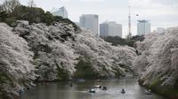 Sejumlah pengunjung naik perahu menikmati keindahan bunga sakura yang mekar sempurna di Chidorigafuchi selama musim semi di Tokyo, Jepang, (4/4). Bunga Sakura merupakan satu keunggulan negara Jepang. (REUTERS/Issei Kato)
