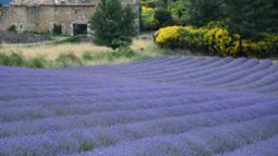 Ladang bunga lavender terlihat di kota Sault, Prancis selatan pada 8 Juli 2019. Akhir Juni hingga Agustus, adalah waktu terbaik untuk merekam warna ungu dari bunga yang tengah mekar ini. (Photo by Christophe SIMON / AFP)
