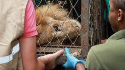 Petugas membawa Jupiter, singa yang mengalami kekurangan gizi, setibanya di kebun binatang di Cali, Kolombia, Kamis (27/2/2020). Keadaan singa berusia 20 tahun tersebut mengenaskan dengan tubuh kurus nyaris tanpa daging. (Guillermo Gutiérrez/Alcaldia de Cali/Cali Mayor's Office/AFP)