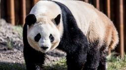 Panda raksasa, Mao Sun berada di kandang barunya selama diperlihatkan kepada media di Kebun Binatang Kopenhagen, Denmark, Rabu (10/4). Sepasang giant panda bernama Xing Er dan Mao Sun yang baru tiba dari China menjadi penghuni baru Kebun Binatang Kopenhagen. (Mads Claus Rasmussen/Ritzau Scanpix/AFP)