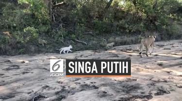 Pengunjung melihat seekor singa betina berjalan bersama anak-anaknya di Taman Nasional Kruger, Afrika Selatan. Menariknya, salah satu anak singa itu berwarna putih.