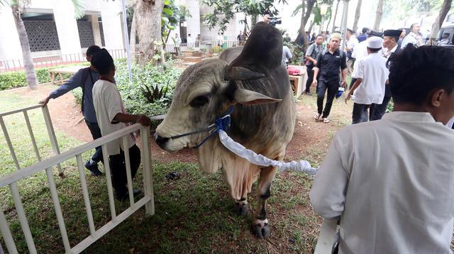 Hewan Kurban sapi milik Presiden dan Wakil Presiden yang di berikan kepada pengurus Masjid Istiqal, Jakarta, Jumat (1/9). Presiden dan Wakil Presiden RI masing-masing menyerahkan satu ekor sapi ongole. (Liputan6.com/Johan Tallo)