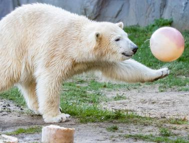 Tingkah Lucu Beruang Kutub Rayakan Ultah Pertamanya